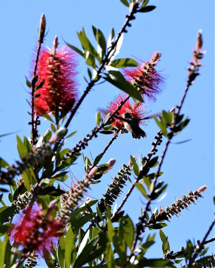 Un colibrì visita un albero riempito di fiori rossi fotografia stock