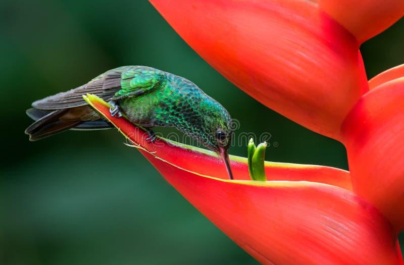 Un colibrí atado rufo que bebe de una flor roja fotografía de archivo