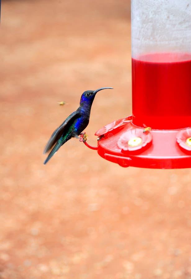 Un colibrí azul hermoso se sienta en un alimentador para comer y para conseguir el néctar antes del vuelo lejos imagen de archivo libre de regalías