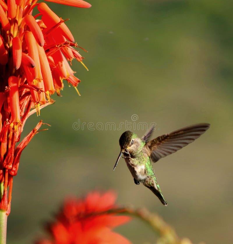 Un colibrí que rasguña su pico fotos de archivo libres de regalías