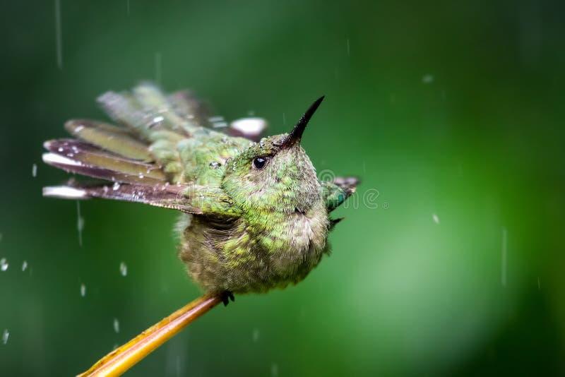 Un colibri prend un bain sous la pluie dans la forêt tropicale photo stock