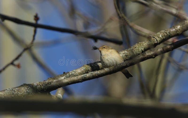 Un collybita bonito del Phylloscopus de Chiffchaff encaramado en una rama de un árbol con una mosca de la moscarda en su pico que imagen de archivo libre de regalías