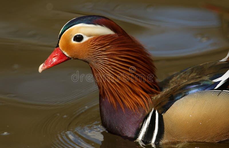 Un colpo capo di un nuoto maschio sbalorditivo di galericulata del Aix dell'anatra di mandarino in un lago immagine stock