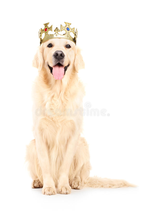 Un colpo dello studio di un labrador retriever con la corona sulla sua testa fotografia stock libera da diritti