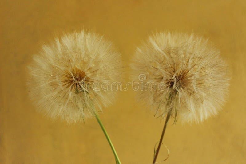 Un colpo potato di grande dente di leone due sopra fondo giallo Bella priorit? bassa della natura fotografia stock