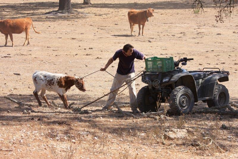 Un coltivatore con le sue mucche in Alentejo, Portogallo fotografia stock libera da diritti