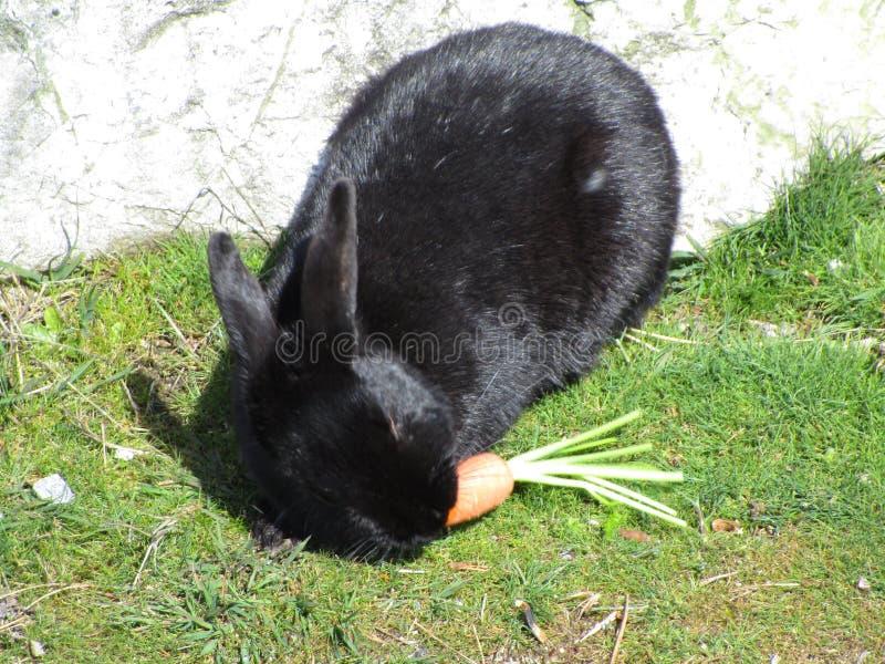 Un conejito negro hambriento que come la zanahoria en la playa de Jericó, Vancouver, marzo de 2018 fotos de archivo