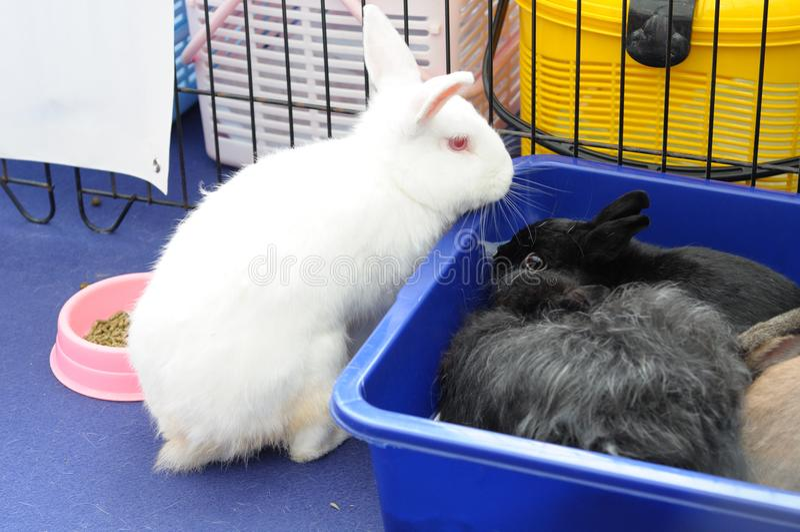 Un conejo blanco y dos conejos negros foto de archivo