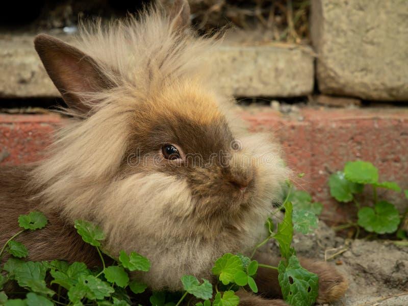 Un conejo enano lindo marrón que descansa en la hierba foto de archivo