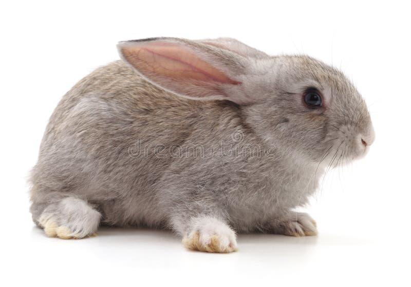 Un conejo gris fotografía de archivo libre de regalías