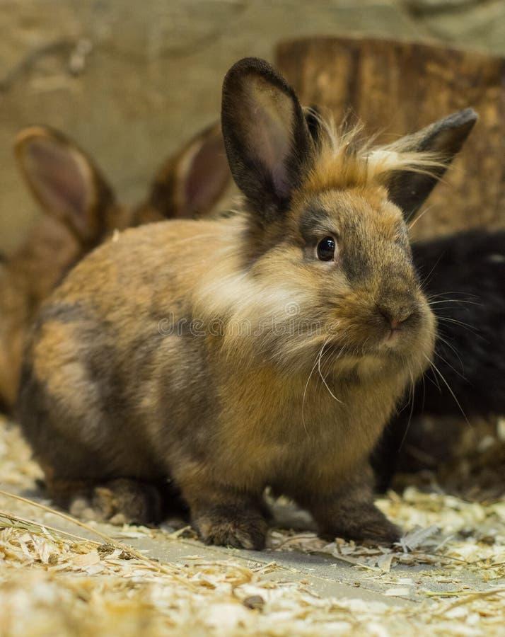 Un conejo hermoso, joven, marrón con un corte de pelo de Elvis La cría de conejos nacionales fotografía de archivo libre de regalías