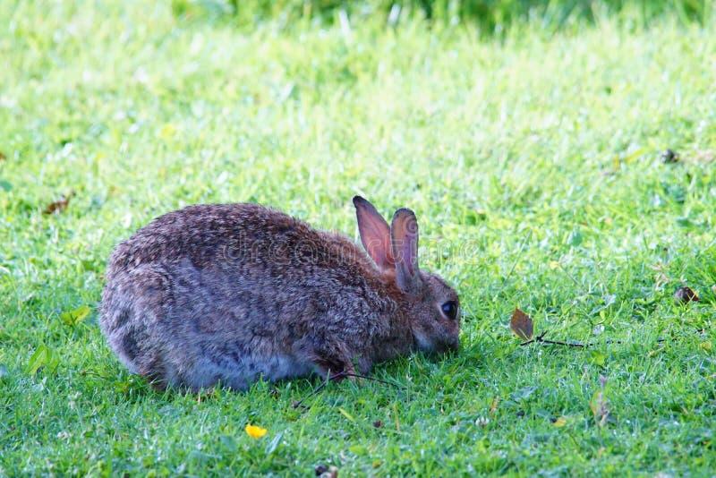 Un conejo se agachó y pastando fotografía de archivo libre de regalías