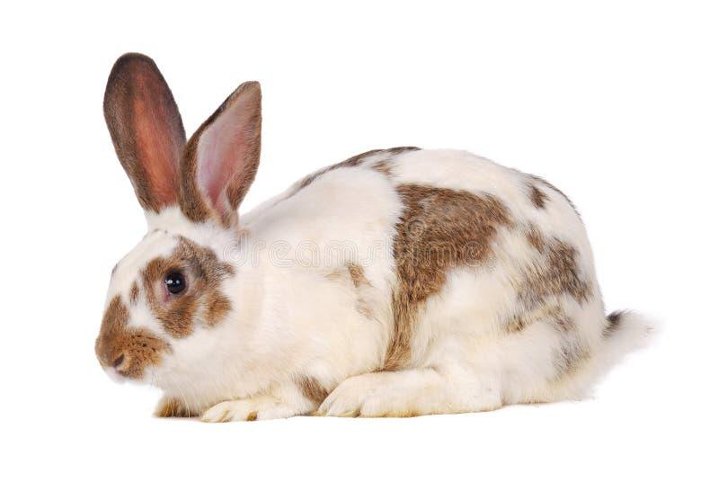Un conejo vivo en el blanco fotografía de archivo