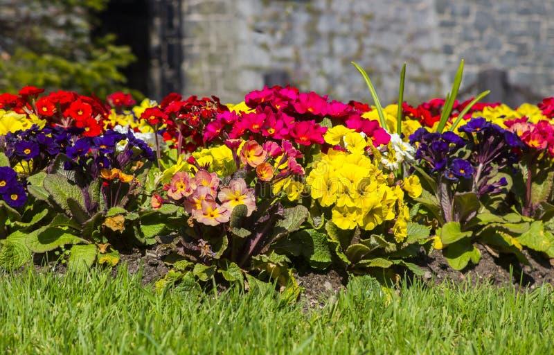 Un confine erbaceo misto convenzionale delle piante di primula fotografia stock