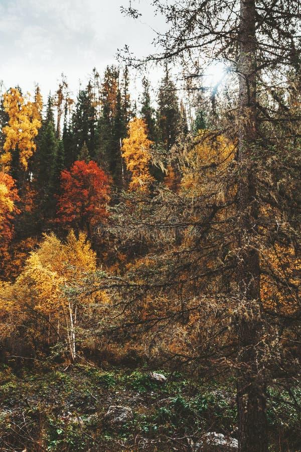 Un conifère moussu énorme en bois d'une chute image libre de droits