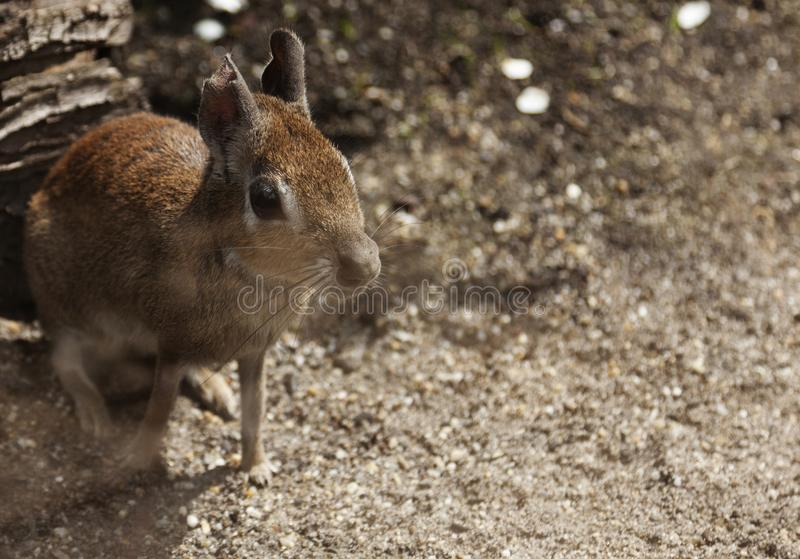 Un coniglio come l'animale con i grandi occhi fotografia stock