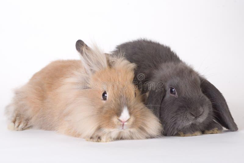 Un coniglio dei due giovani, isolato fotografia stock