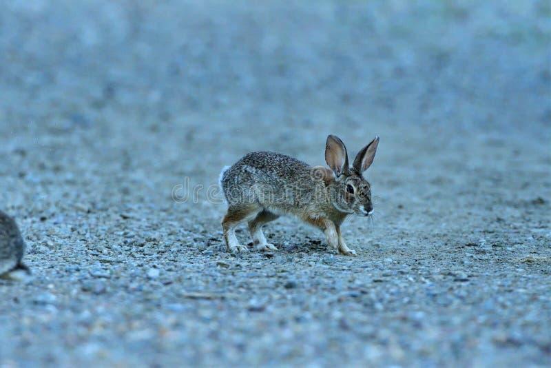 Un coniglio giovanile che cammina sulla terra immagini stock libere da diritti
