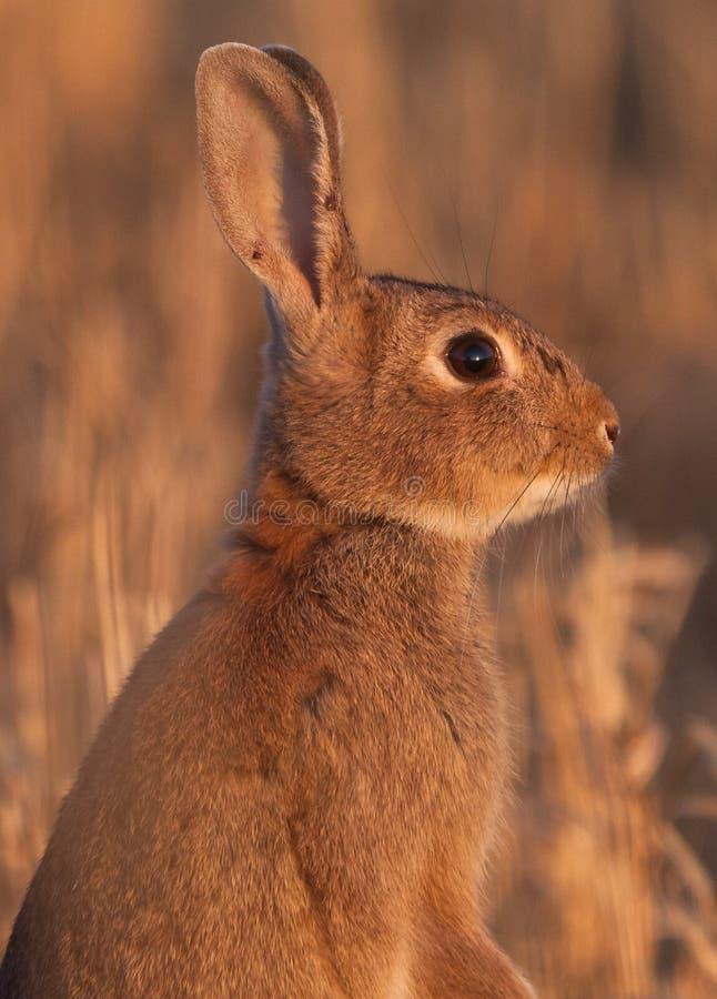 Un coniglio selvaggio sull'alta allerta fotografie stock libere da diritti