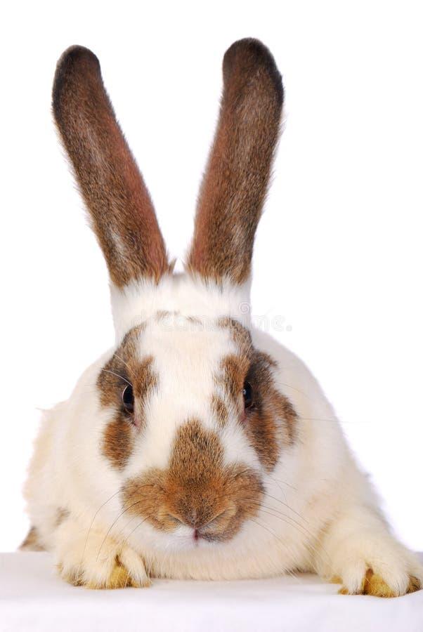 Un coniglio in tensione sul bianco immagini stock libere da diritti