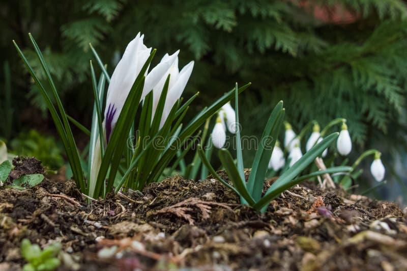 Un cono delle foglie verdi che crescono dal suolo con i bei fiori bianchi nel centro fotografie stock libere da diritti