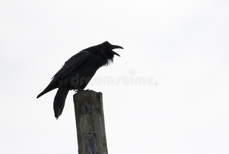 Un corax común del Corvus del cuervo que grazna encima de un poste en la isla de Amherst cerca de Kingston, Canadá fotografía de archivo libre de regalías