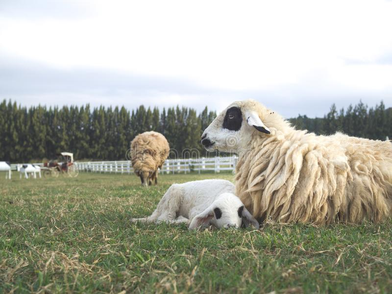Un cordero joven lindo que pone por las ovejas de la madre imagenes de archivo
