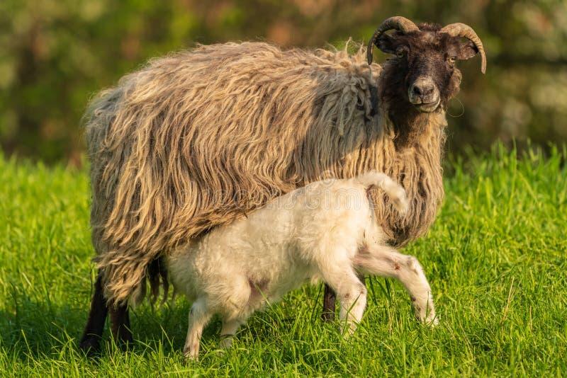 Un cordero y una oveja fotos de archivo libres de regalías