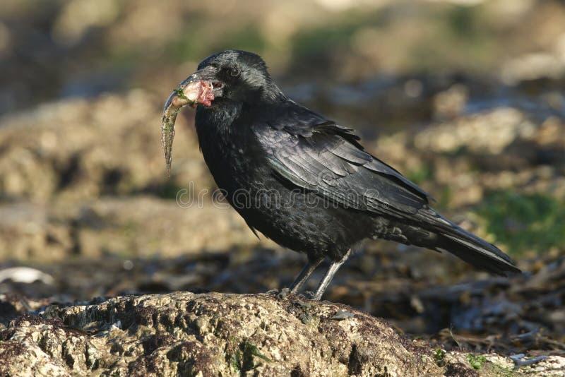 Un corone di Carrion Crow Corvus che si appollaia su una roccia su una spiaggia nel Regno Unito con un pesce in suo becco che si  fotografia stock