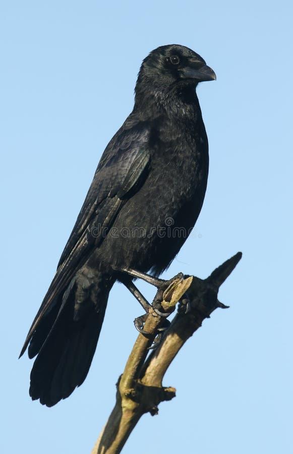 Un corone imponente de Carrion Crow Corvus se encaramó en una rama arriba en un árbol imágenes de archivo libres de regalías
