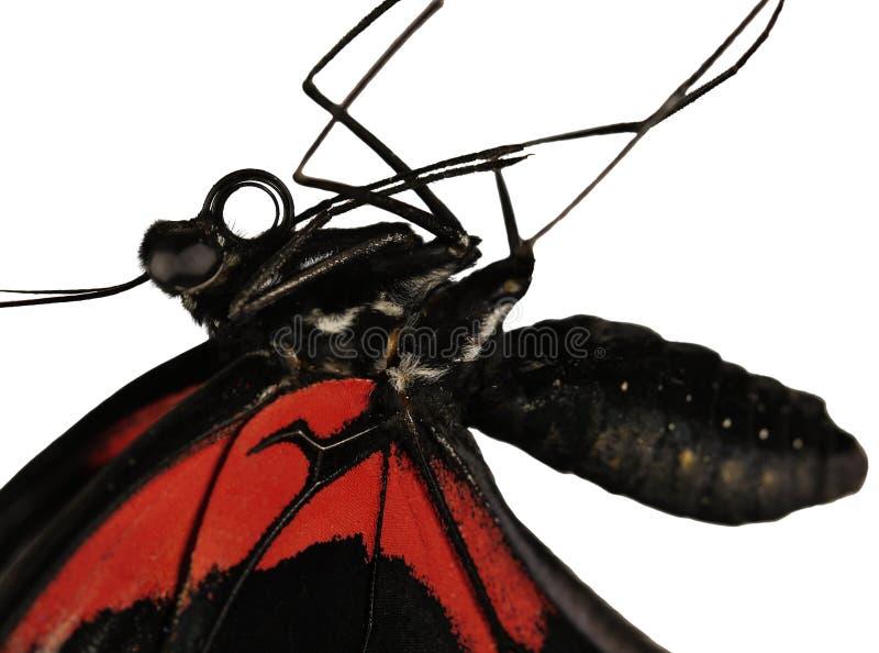 Un corps du papillon mormon d'écarlate, rumanzovia de Papilio, est isolé sur le blanc images stock