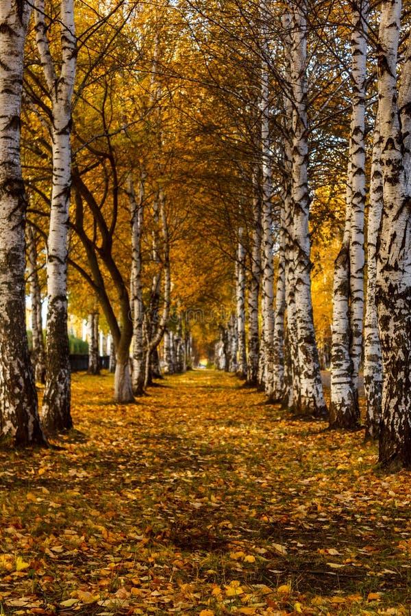 Un corridoio degli alberi di betulla bianca di autunno con giallo lascia lo stretc immagini stock