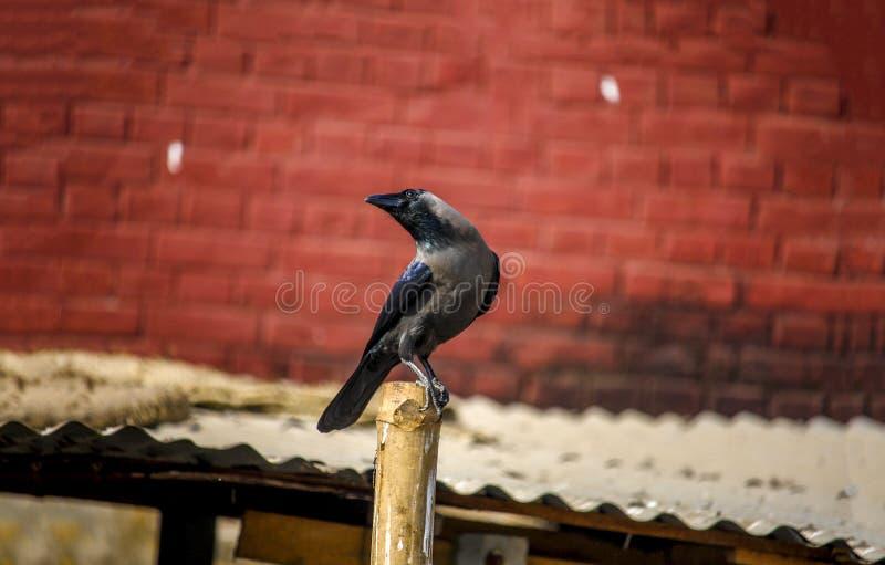 Un corvo immagini stock
