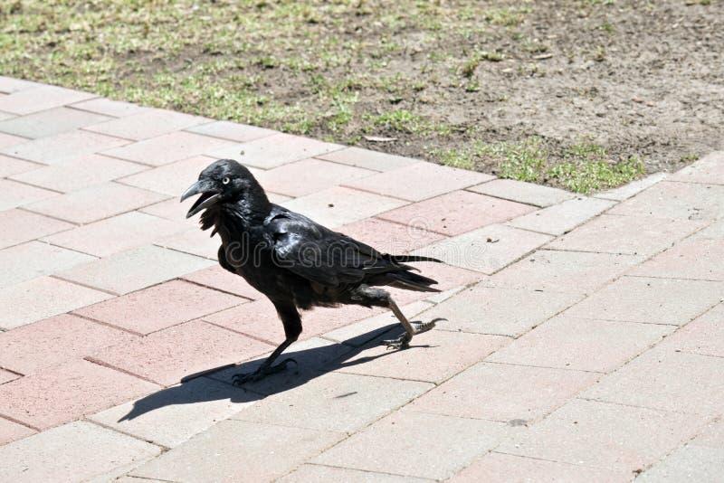 Un corvo australiano fotografia stock libera da diritti
