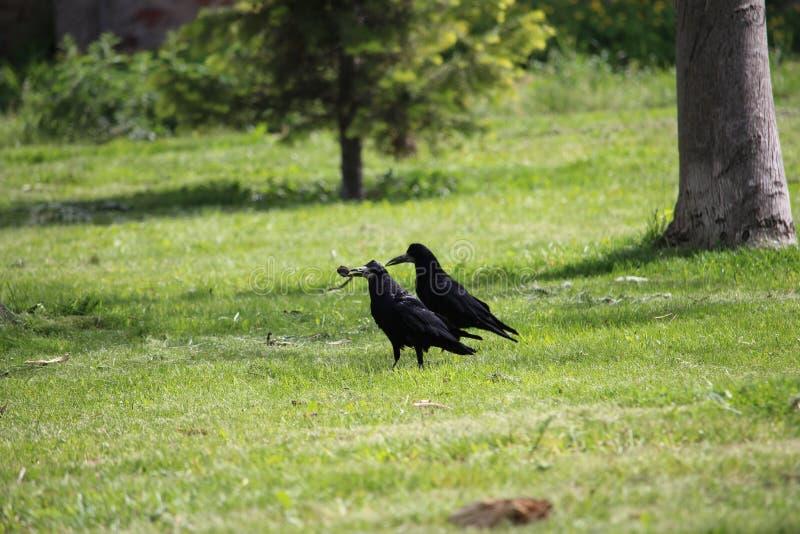 Un corvo che tiene un pezzo di alimento in suo becco immagini stock libere da diritti