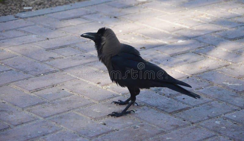 Un corvo nero nel parco fotografie stock libere da diritti