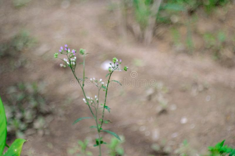 Un cosmos hermoso una floración de la flor imagen de archivo