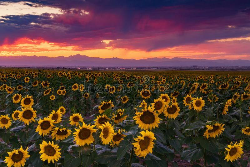 Un coucher du soleil vif de tournesol du Colorado photos libres de droits