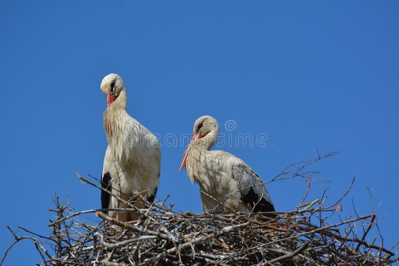Un couple de cigogne dans le nid images libres de droits