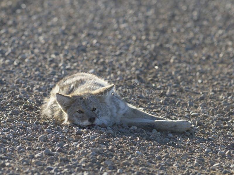 Un coyote che dorme in una strada immagine stock