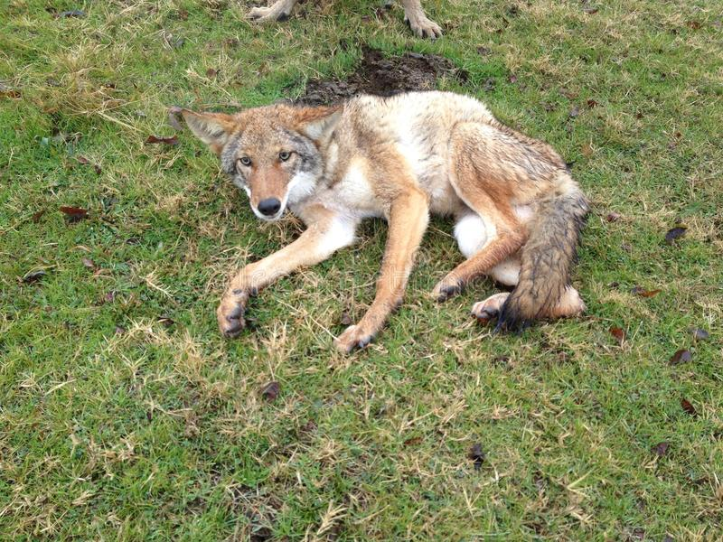 Un coyote del Texas fotografie stock
