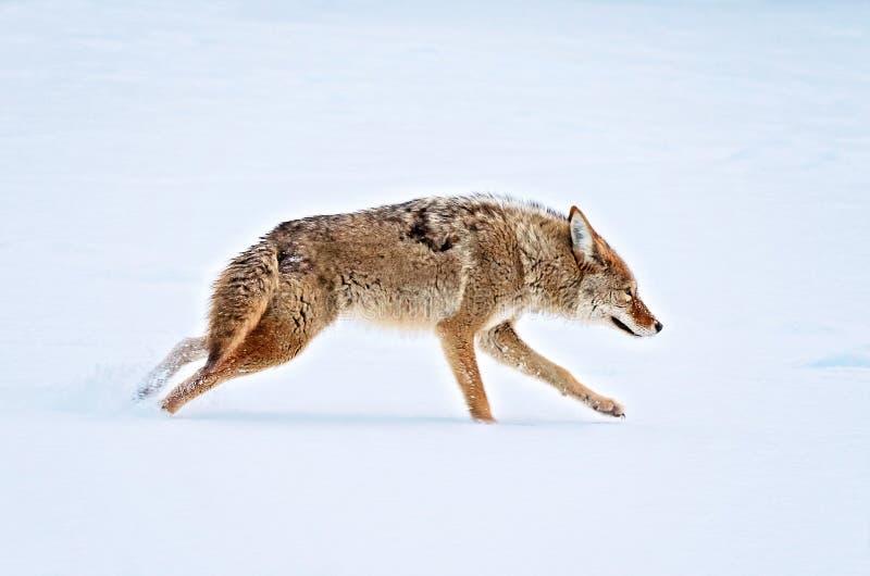 Un coyote fonctionnant à travers une neige a couvert l'étang au milieu de la victoire photographie stock libre de droits