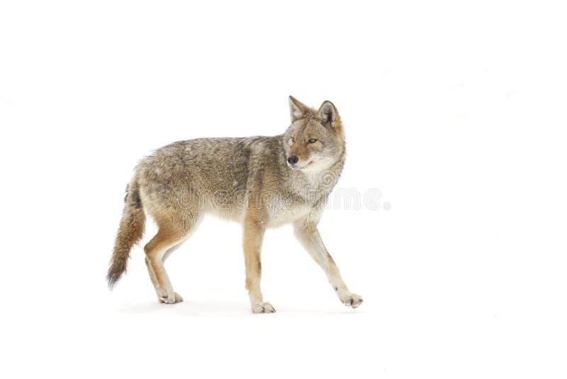 Un coyote que camina en la nieve del invierno en Canadá imágenes de archivo libres de regalías