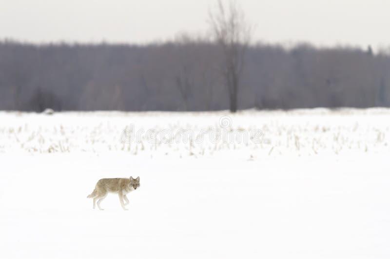 Un coyote que camina en la nieve del invierno en Canadá fotografía de archivo