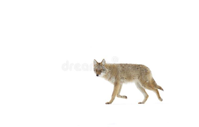 Un coyote que camina en la nieve del invierno en Canadá foto de archivo