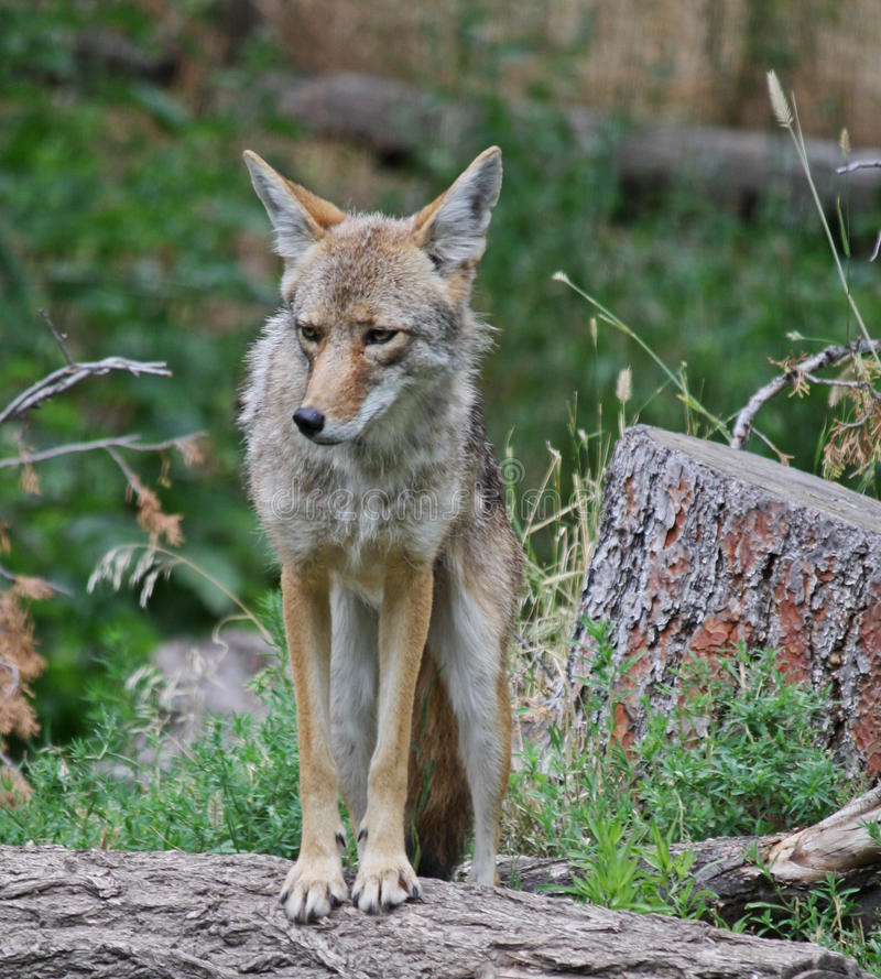 Un coyote solitaire images stock