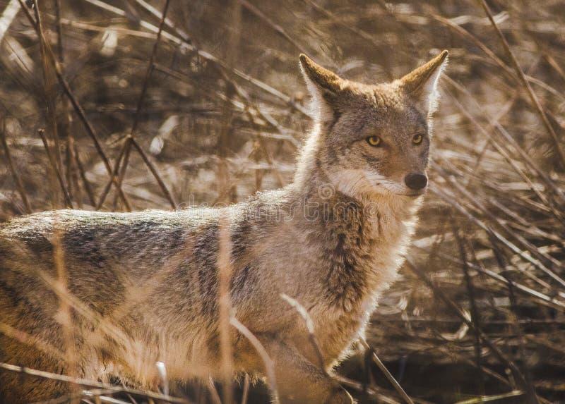 Un coyote sur le vagabondage image stock