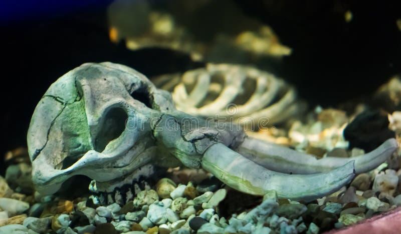 Un cráneo esquelético del elefante que pone debajo de sorprender del agua y de la decoración asustadiza del acuario foto de archivo