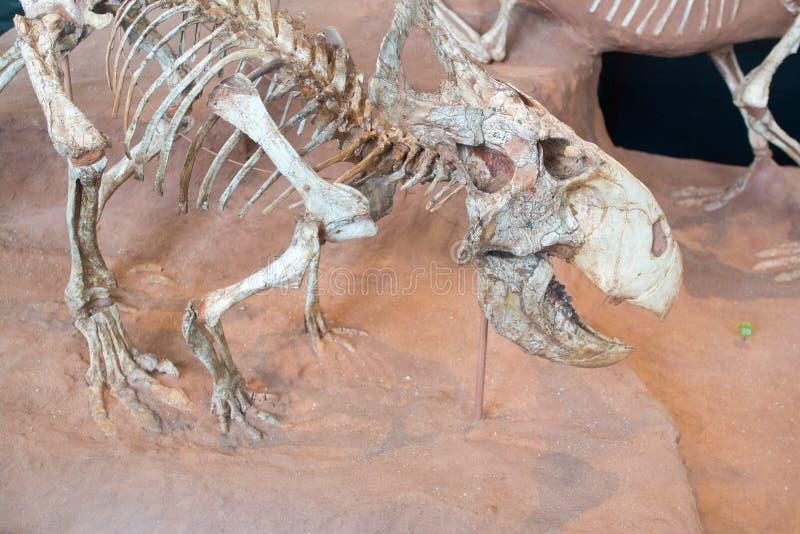 Un cráneo fosilizado de un animal prehistórico imagen de archivo