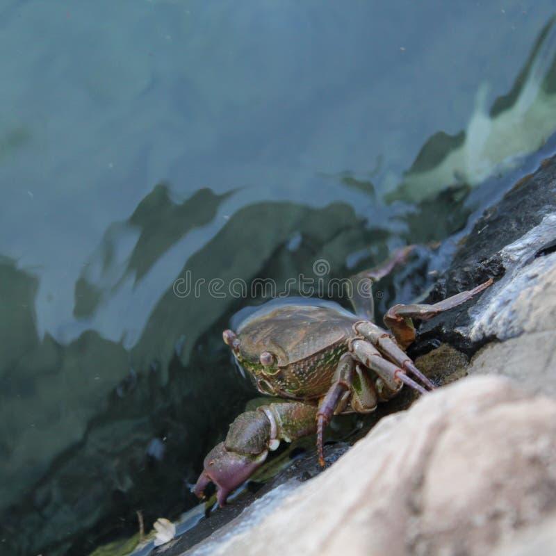 Un crabe photo libre de droits